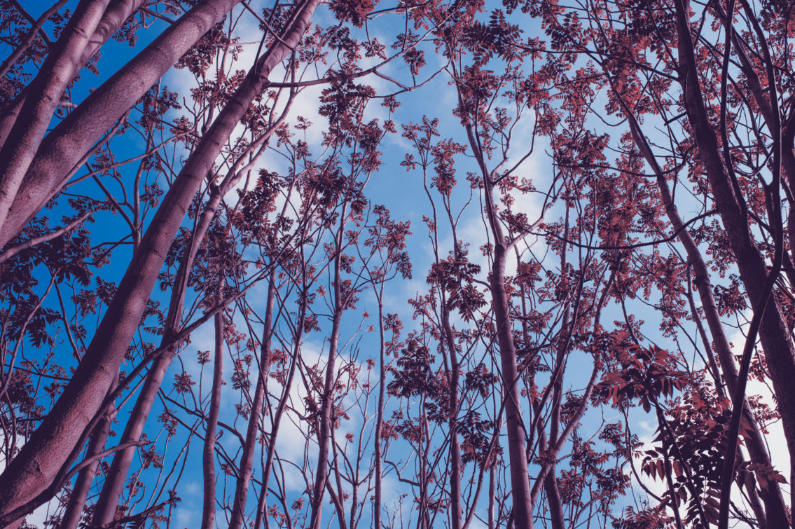 photograph of the tops of pink trees that reveal the blue sky with candied white clouds
