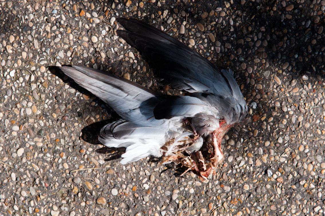 Remains of pigeon wings torn off and left on the road